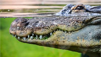 75-year-old woman attacked by alligator