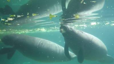 Save the Manatee Club urges Floridians to avoid manatees as they migrate