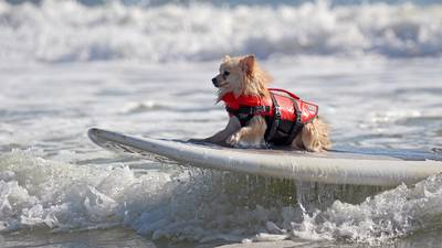 Sups And Pups Dogs Surfing Contest